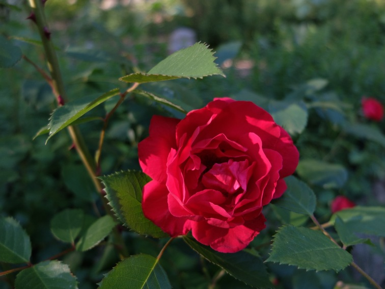 Lower garden red rose