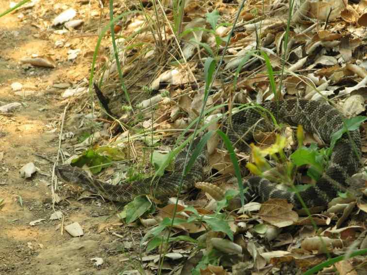 Angry rattlesnake 2 copy