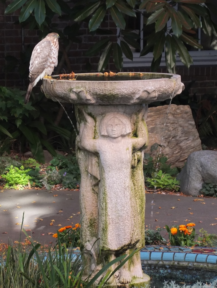 Hawk at the fountain 4 crop
